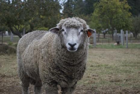 تفسيرحلم رؤية ذبح الخروف او الكبش او الماعز في المنام