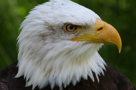 تفسير حلم رؤية طائر النسر وفرخه وصيده وهجومه في المنام Eagle