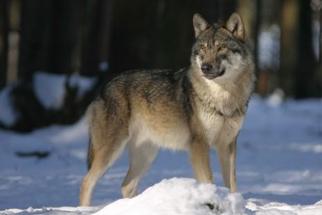 تفسير رؤية الذئب أو الذئاب في الحلم أو المنام لابن سيرين