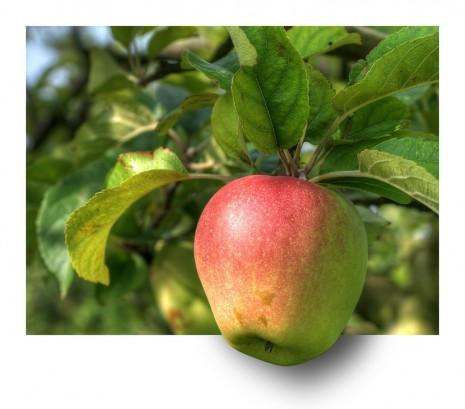 تفسير حلم رؤية التفاح و شجرة و أكل تفاح في المنام لابن سيرين