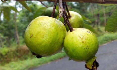 تفسير حلم رؤية شجرة أو أكل الجوافة خضراء صفراء في المنام