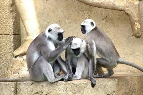 رؤية القرد في المنام