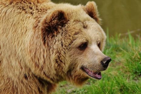 الهروب من الدب و يلاحقني أو يطاردني في المنام