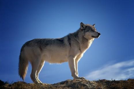 Wolf-465x310.jpg